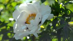 White peony flower and bee. Gardenia blooming. Springtime. Nature. Floral. - stock footage