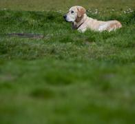 Golden retriever outdoors (lots of copy space available) Stock Photos