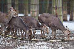 Sika deer (lat. Cervus nippon) Stock Photos