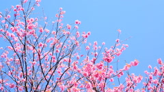 Cherry blossom or sakura with blue sky background. Stock Footage