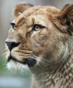 Close-up portrait of a majestic lioness (Panthera Leo) in nature Stock Photos