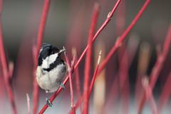 Coal tit (Parus ater) - stock photo