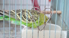 Budgerigar was shut in a cage, in the pet market Stock Footage