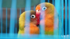 Lovebirds, was shut in a cage, but they are very affectionate Stock Footage