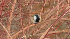 Chickadee Bird Perched eating Sunflower seed Stock Footage