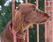 very cute guard dog poking his head through the fence and lookin - stock photo