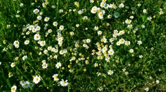 Many white daisies Stock Footage