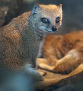 Funny and cute suricate (meerkat) in warm light of a heat lamp - stock photo