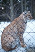 Close-up portrait of a captive Eurasian Lynx (Lynx lynx) on a sn - stock photo