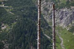 dead tress in an alpine forest - stock photo