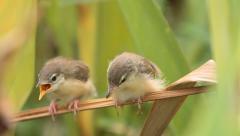 Bird Plain Prinia, or the Plain, or White-browed Stock Footage