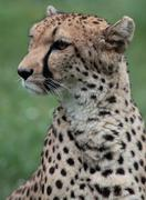 Close-up of a beautiful cheetah (Acinonyx jubatus) Kuvituskuvat