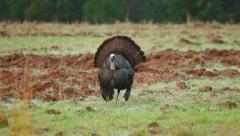 Wild Turkey (Meleagris gallopavo) mature male Gobbler Stock Footage