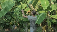 Stern man cuts a branch of bananas in the tropics in Koh Samui Stock Footage