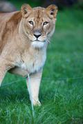 Stock Photo of Close-up portrait of a majestic lioness (Panthera Leo)