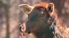 Female elk standing up - stock footage