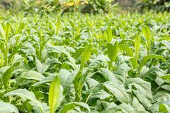 Tobacco plant in thailand Kuvituskuvat