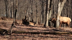 Elk laying down with herd Stock Footage