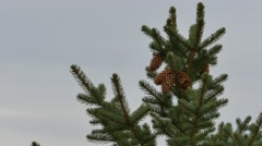 Pine Tree top Stock Footage