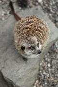 Funny and cute suricate (meerkat) - stock photo
