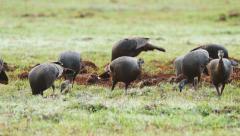Wild Turkey (Meleagris gallopavo) , flock of hens feeding - stock footage