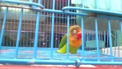 Lovebirds, was shut in a cage, but they are very affectionate - stock footage
