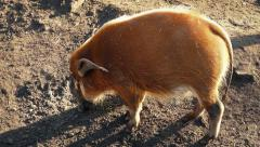 Wild Pig Sniffing Out Food Stock Footage