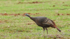 Wild Turkey - stock footage