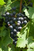 A Bunch of Cabernet Sauvignon Grapes - stock photo