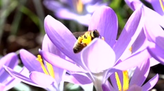 bees in springtime - slow motion - stock footage