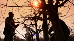 Fruit grower pruned fruit trees Stock Footage