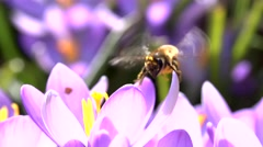 Stock Video Footage of bees in springtime - slow motion