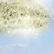 Blossoming white  tree Flowers - stock photo