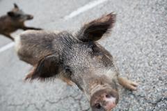 Wild boars (Sus scrofa) crossing the road Stock Photos