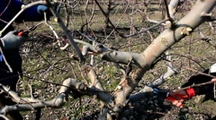 Spring pruning in the orchard Stock Footage
