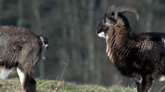 Mouflon - in winter Stock Footage
