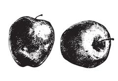 Apples - stock illustration