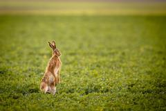 Brown hare (lepus europaeus) Stock Photos