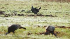 Wild Turkey (Meleagris gallopavo) Stock Footage