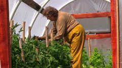Senior woman in yellow trousers prune tomato plants in hothouse Stock Footage