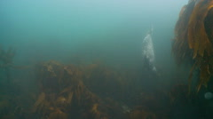Gray seal swim to camera Stock Footage