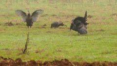 Wild Turkey (Meleagris gallopavo) Stock Footage