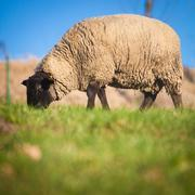 Suffolk black-faced sheep (Ovis aries) grazing on a meadow - stock photo