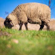 Suffolk black-faced sheep (Ovis aries) grazing on a meadow Stock Photos