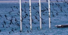 Flock of Crows Swarming Up Past Pier and Pilings Slowmo 4K Stock Footage