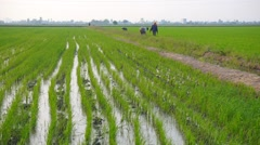 Farmers Working At Green Paddy Field, View From Far - stock footage