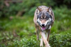 Gray/Eurasian wolf (Canis lupus) Stock Photos