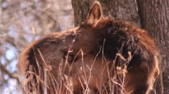 Elk - female - biting and cleaning herself Stock Footage