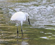 Wild little egret bird feeding in water pool use for animals and wildlife in  Stock Photos
