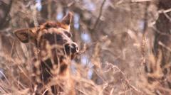Elk - female - resting in the sun Stock Footage